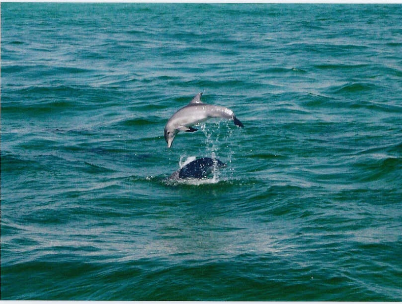 dolphin-jumping-1